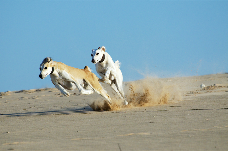 Saluki dogs - João Almeida Photography